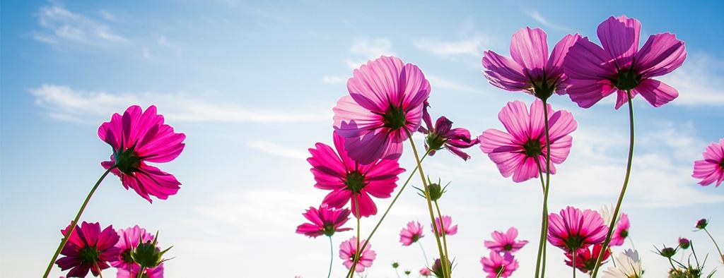 گل های صورتی در پس زمینه ی آسمان آفتابی
